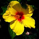 Yellow Hibiscus  by ZWC Photography