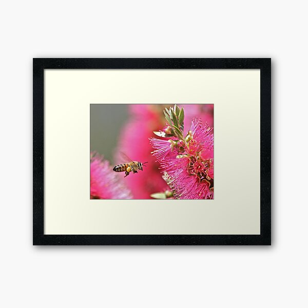 Bee on a bottle brush Framed Art Print