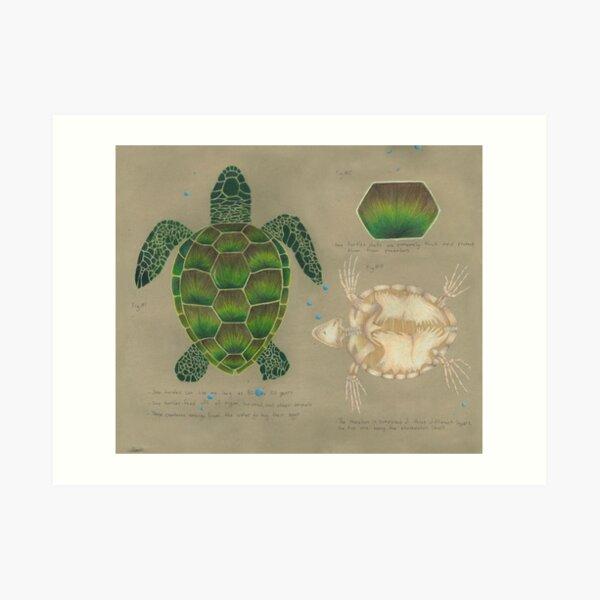 Sea Turtle Scientific Study Drawing Art Print
