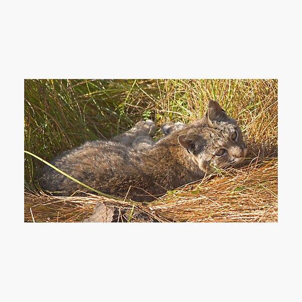 Lazy bobcat Photographic Print