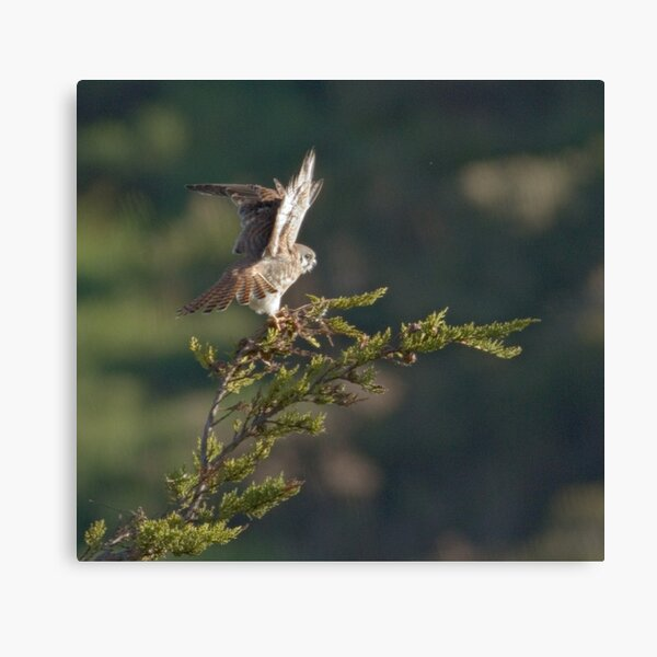 Kestrel shows her wings Canvas Print