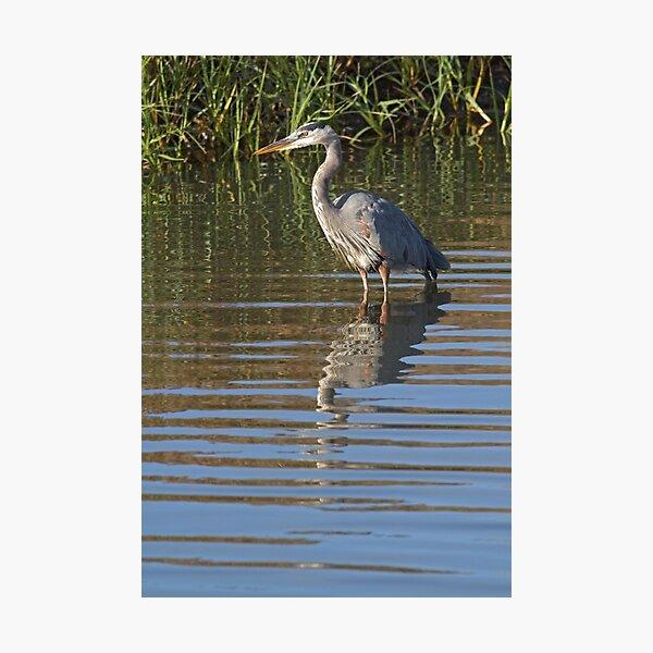 Heron portrait Photographic Print