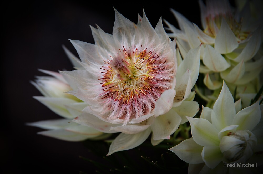 Blushing Bride protea Rivers 20121015 4300  by Fred Mitchell
