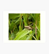 Dark Bush-cricket Art Print