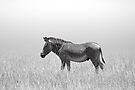 Grevy's Zebra (Equus grevyi) by Neville Jones