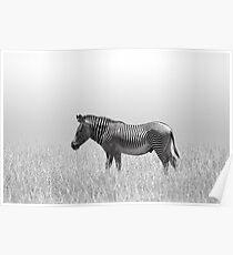 Grevy's Zebra (Equus grevyi) Poster