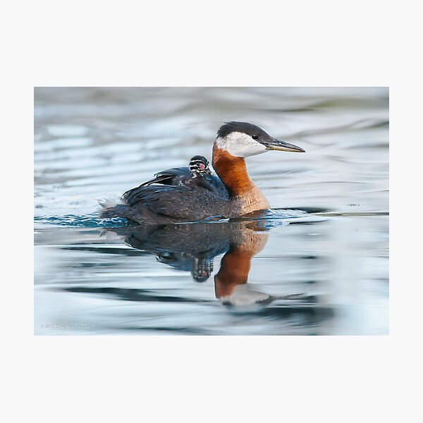 Red-Necked Grebe with Chick Photographic Print