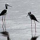 Black-winged Stilt by triciaoshea