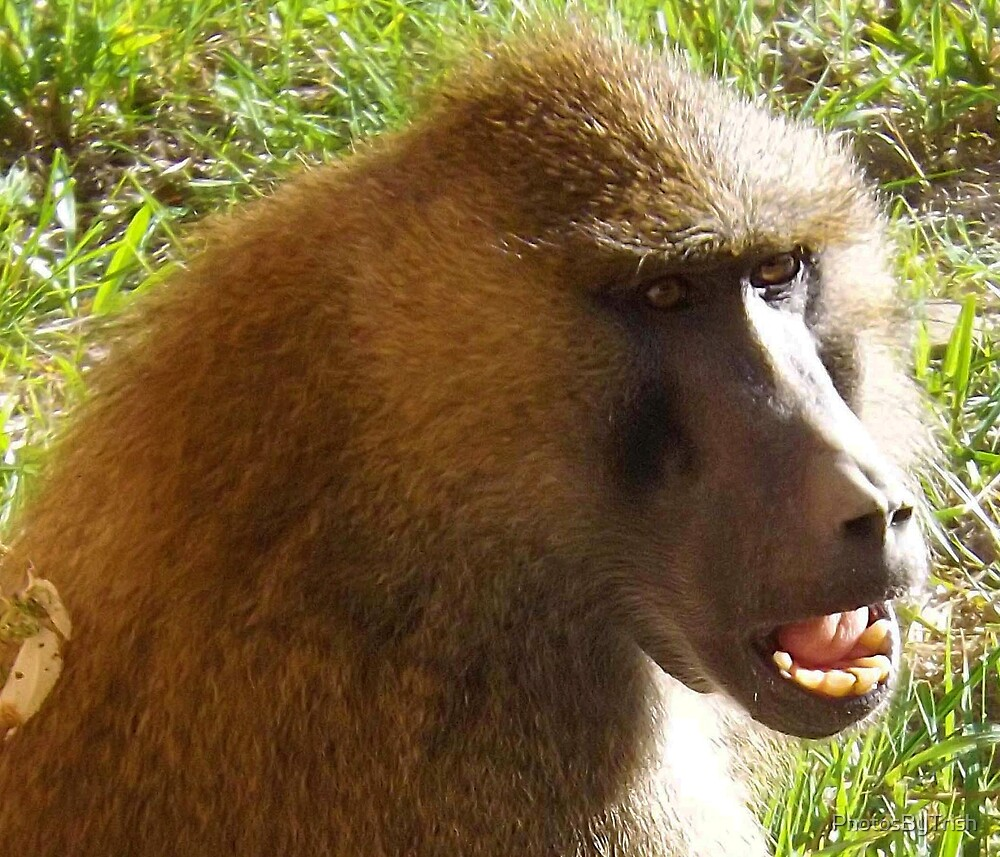 Baboon Face Closeup by PhotosByTrish