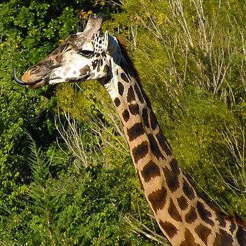 Giraffe with Tongue Sticking Out by PhotosByTrish