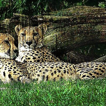 Cheetahs Lounging Grunge by PhotosByTrish