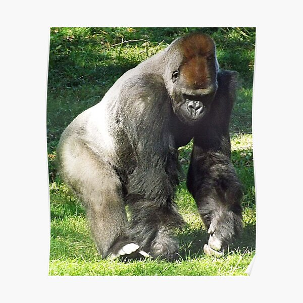 Männlicher Silberrücken-Tieflandgorilla bei Kansas City Zoo Poster