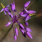 Purple Tassel Flower by Fizzgig7