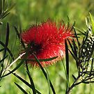 West Australian Bottlebrush by Maureen Smith