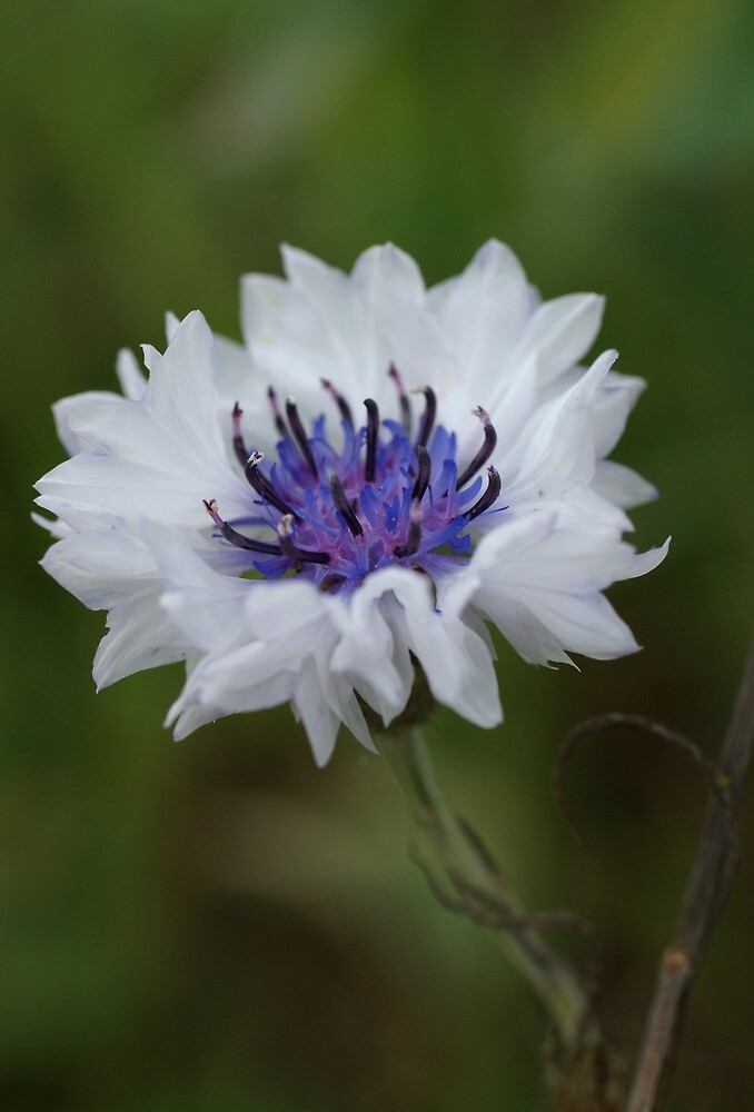 White Cornflower by marens