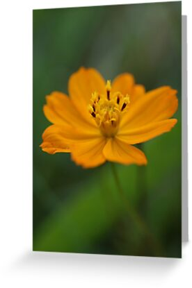 Orange Cosmos Flower by marens