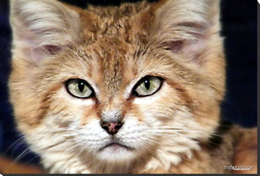 Arabian Sand Cat! by naturelover