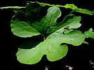 Bloodroot Leaf - Sanguinaria canadensis by MotherNature