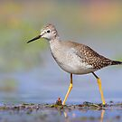 Lesser Yellowlegs. by Daniel Cadieux