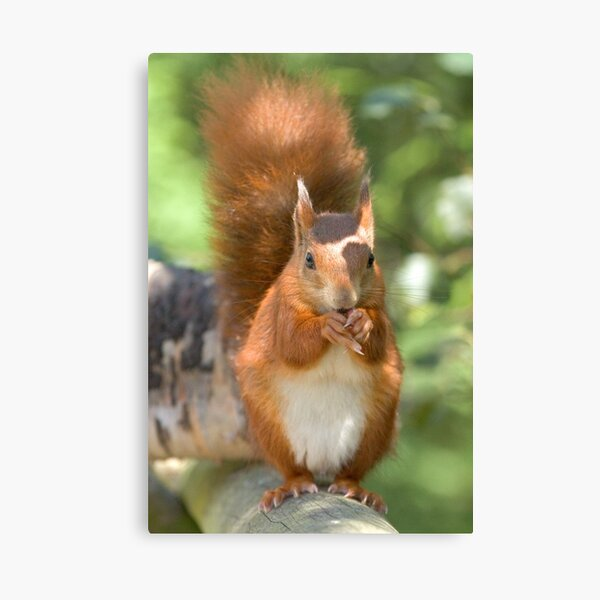 Pretty squirrel is pretty Canvas Print