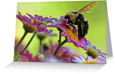 Bumble Bee and Beautiful Marguerite Daisies by T.J. Martin