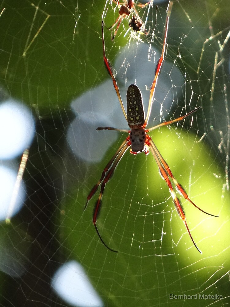 Spider In The Morning Sun - Araña En La Luz Del Sol De La Mañana by Bernhard Matejka
