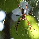 Spider In The Morning Sun - Araña En La Luz Del Sol De La Mañana by Bernhard Matejka