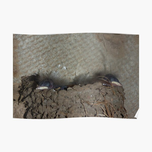 Swallow Chicks hatched Poster
