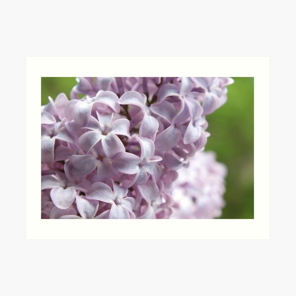New Hampshire Lilacs Art Print