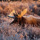 Moose Glow by John  Sperry