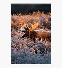 Moose Glow Photographic Print