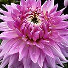 Pink Dahlia by Jess Meacham
