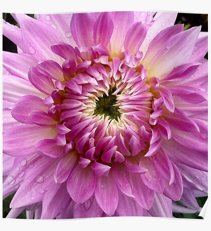 Pink Dahlia 2 Poster