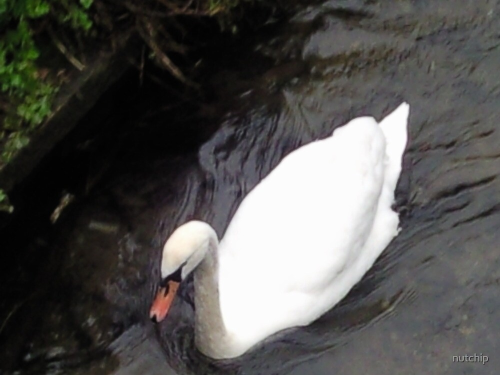 beautiful swan ! by nutchip
