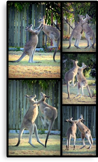 Boxing Kangaroos at Woodgate Beach by myraj