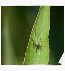 Speckled Bush Cricket baby Poster