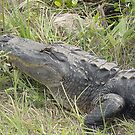 American Alligator by Penny Fawver