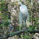 White Egret by Penny Fawver