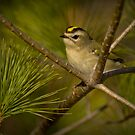 Golden-crowned Kinglet by Jeff Weymier