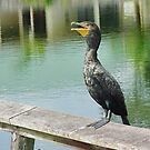 Great Cormorant by Penny Fawver