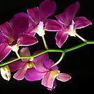 Purple on Black by gregAllore