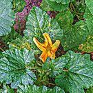 Pumpkin Flower Beginning to Open by Jane Neill-Hancock