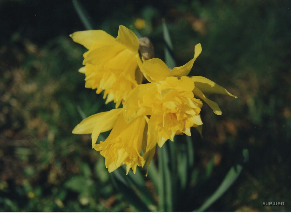 Daffodil by suewen