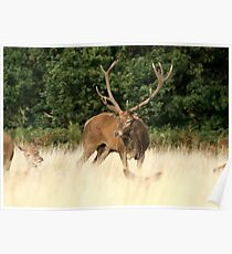 Stag in Richmond Park Poster