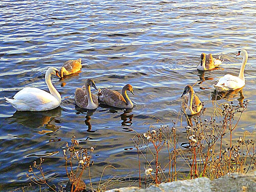 The Swan Family Of Inch Island by Fara