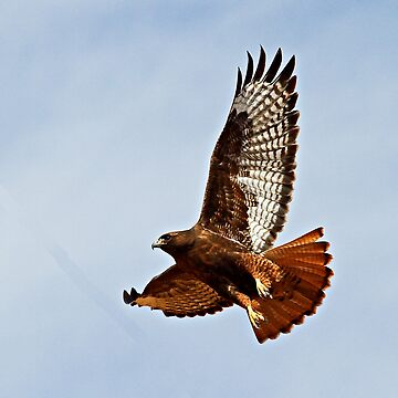 102012 Dark Morphed Red Tailed Hawk by mcollins
