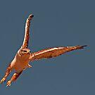 102012 Ferruginous Hawk by Marvin Collins