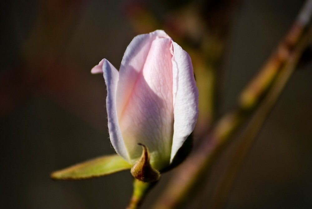 January Rose by Bryan D. Spellman