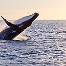Humpback Whale Breaching off Hervey Bay as the sun starts to set by Jaxybelle