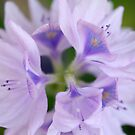 Hyacinth by gregAllore